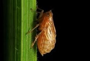 The brown planthopper is one of rice's most destructive pests. Researchers in Indonesia investigated if they could develop a nontoxic pesticide based on the rice's own chemical signals.